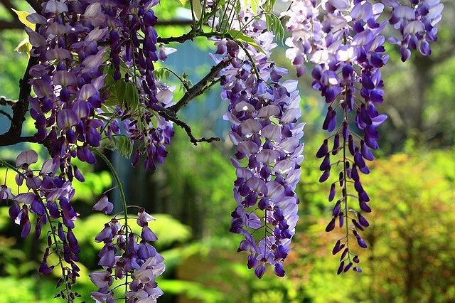 wisteria-2356259_640